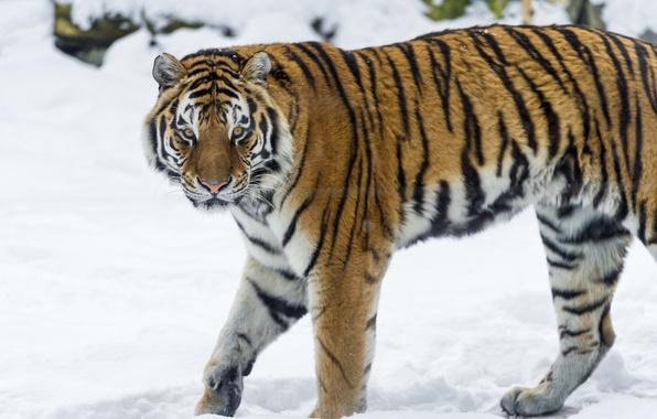 Обои картинки фото тигр амурский тигр