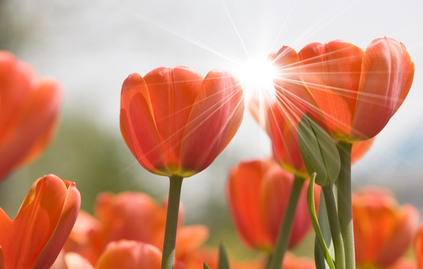 Картинка цветок, цветы, природа, тюльпаны, блик, бутоны, flowers