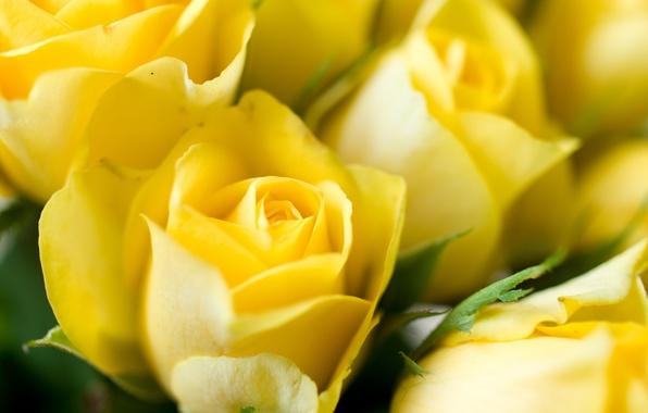 Картинка макро, цветы, розы, желтые, бутоны