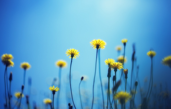 Картинка цветы, желтый, фон, голубой, widescreen, обои, wallpaper, цветочки, широкоформатные, background, полноэкранные, HD wallpapers, широкоэкранные, fullscreen