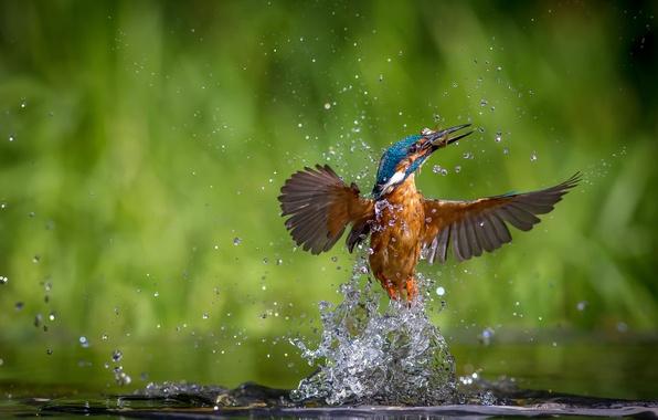 Картинка вода, капли, брызги, птица, рыба, kingfisher, alcedo atthis, обыкновенный зимородок, улов