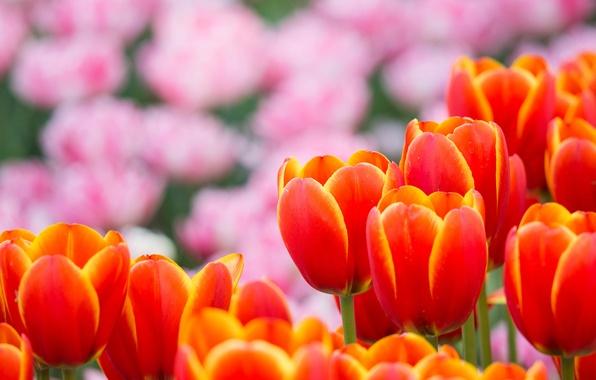Картинка цветы, лепестки, размытость, Тюльпаны, розовые, оранжевые