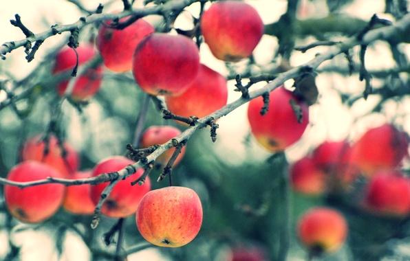 Картинка осень, ветки, яблоки, урожай, плоды