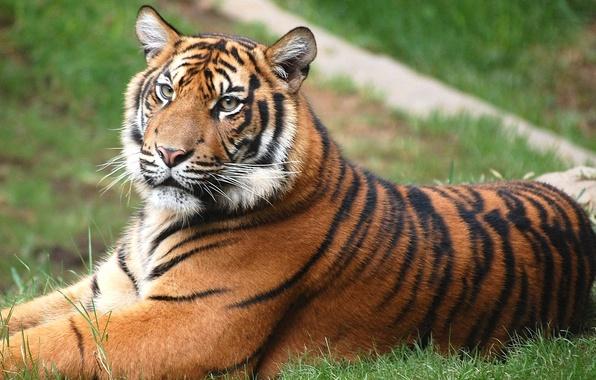 Картинка Тигр, лежит, лужайка