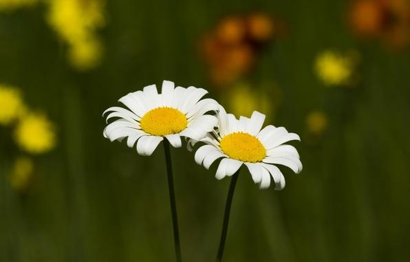 Картинка поле, цветы, ромашки