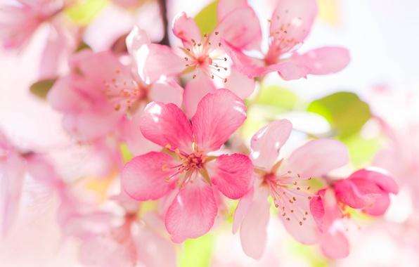 Картинка макро, яблоня, цветение, цветки