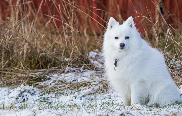 Картинка зима, белый, снег, собака, мордашка, сидит, сухая трава, поздняя осень, шпиц