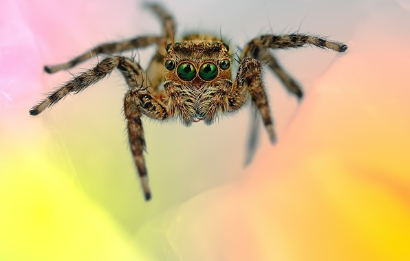 Картинка глаза, лапки, паук, волосики, прыгун, джампер