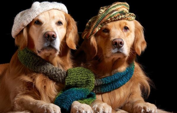 Картинка шарф, пара, золотистый, берет, ретривер