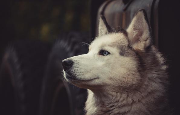 Картинка взгляд, морда, собака, хаски