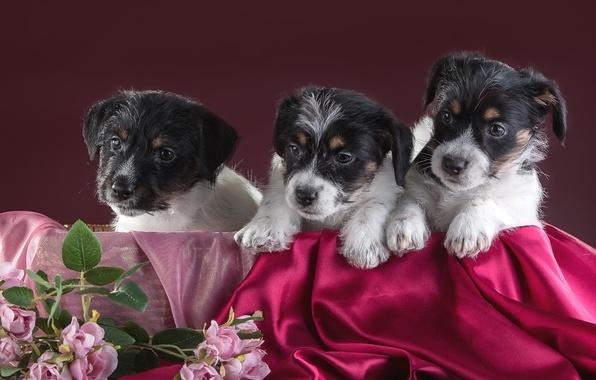 Картинка цветы, щенки, трио, джек-рассел-терьер