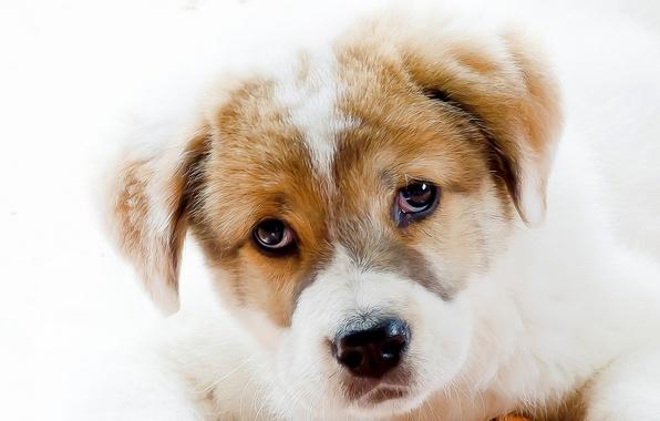 Картинка взгляд, собака, щенок