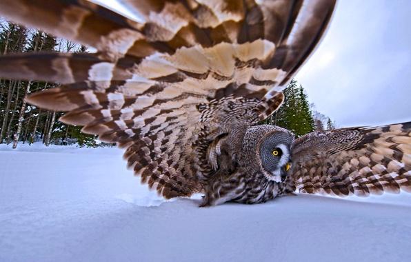 Картинка зима, снег, деревья, природа, птица, крылья, перья, охота, большая серая сова