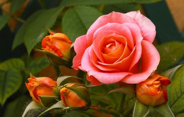Фото обои макро, бутоны, роза