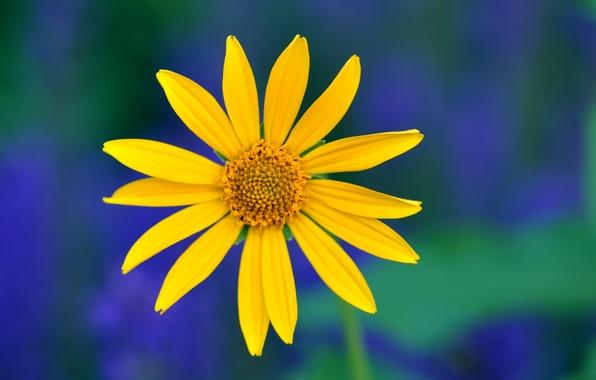 Картинка цветок, макро, синий, зеленый, фон, Желтый, лепестки