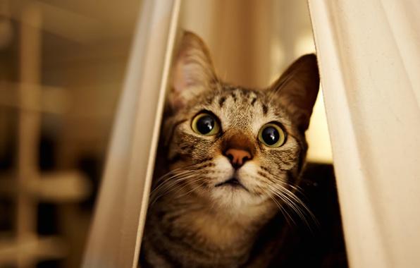 Картинка кошка, глаза, кот, взгляд, мордочка, выглядывает