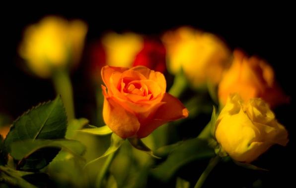 Картинка листья, роза, букет, лепестки, бутон