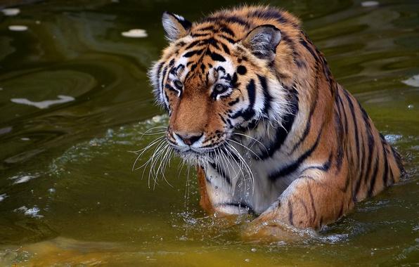 Картинка усы, взгляд, морда, вода, капли, тигр, хищник, tiger, panthera tigris