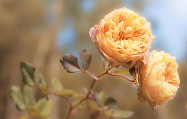 Картинка макро, свет, цветы, нежность, роза, цвет, розы, обработка, лепестки, оранжевые, бутоны, персиковые