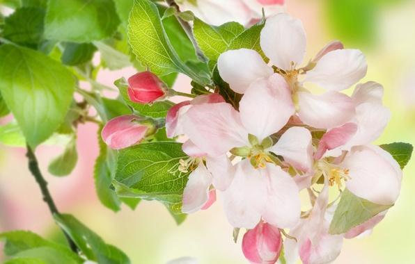Картинка листья, цветы, красота, весна, лепестки, нежные, розовые, white, белые, яблоня, бутоны, цветение, pink, flowers, leaves, …