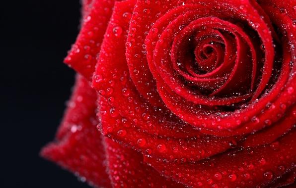 Картинка цветок, цвета, капли, фото, нежный, романтика, черный, роза, красота, мокрая, colors, фотографии, red, rose, красивая, …