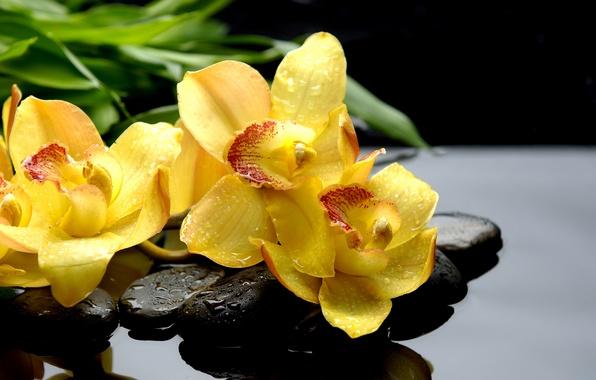 Картинка капли, макро, отражение, камни, желтые, орхидеи, черные, orchids