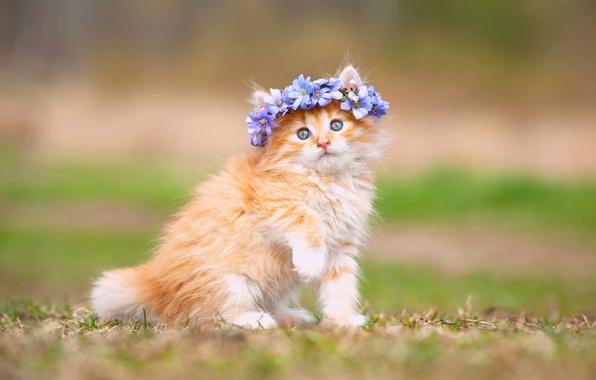 Картинка цветы, пушистый, малыш, котёнок, венок