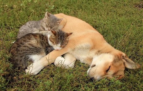 Картинка кошки, собака, друзья