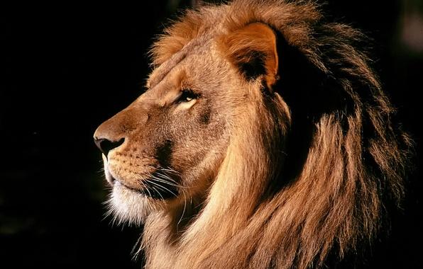 Картинка сила, лев, грива, зверь