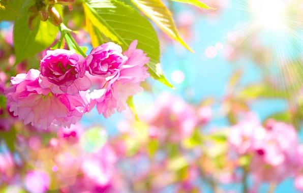 Картинка цветы, вишня, розовый, Beautiful, цветение, pink, blossom, flowers, cherry, Красивый