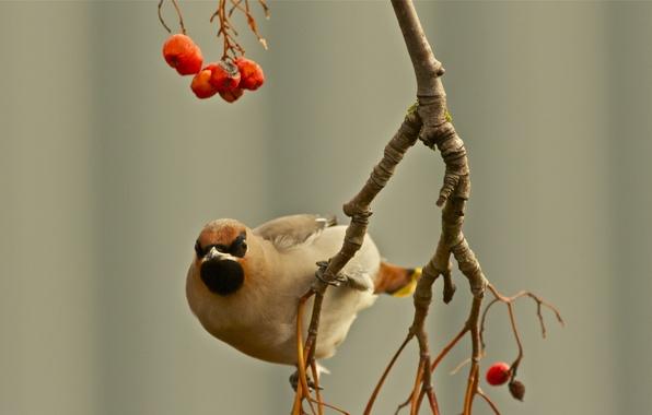 Картинка осень, ягоды, птица, фокус, ветка, свиристель