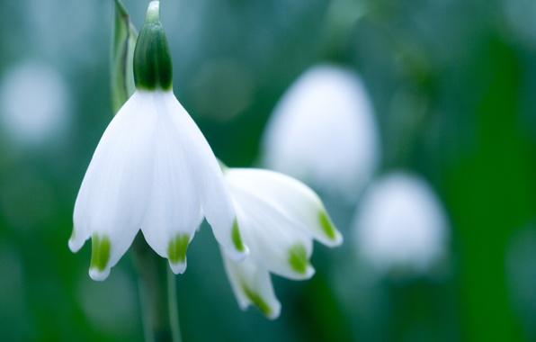 Картинка зелень, белый, цветок, макро, весна, подснежник