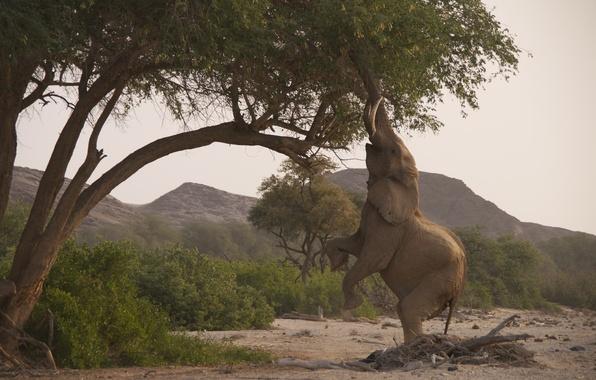 Картинка деревья, природа, слон, саванна, хобот