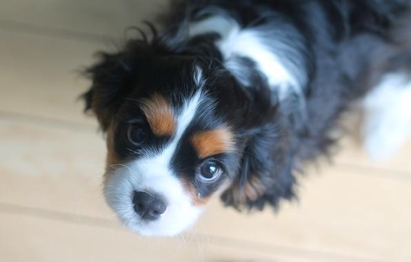 Картинка взгляд, собака, щенок, мордашка, спаниель, Кавалер кинг чарльз спаниель