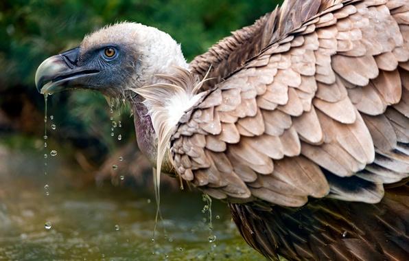 Картинка вода, капли, природа, птица, гриф