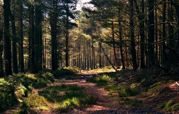 Картинка лес, трава, дорожка, сосны