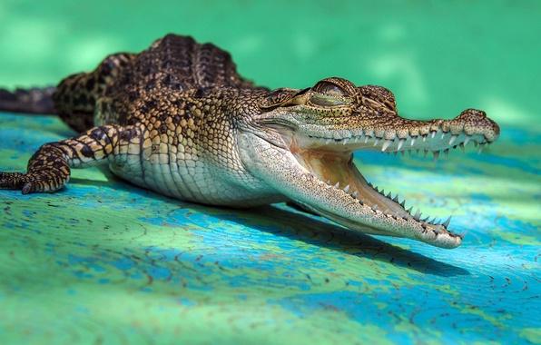 Картинка зубы, крокодил, пасть, крокодильчик