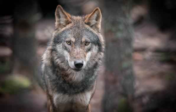 Картинка взгляд, портрет, хищник, серый волк
