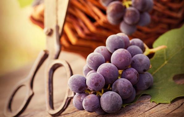 Картинка осень, листья, ягоды, стол, корзина, виноград, гроздь, ножницы