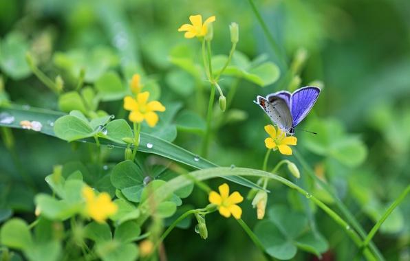 Картинка зелень, листья, капли, макро, цветы, природа, роса, бабочка, растения, желтые, клевер, насекомое