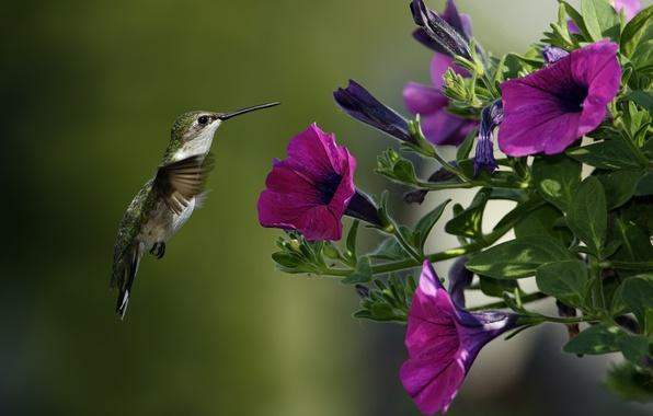 Картинка макро, цветы, птица, колибри, петуния