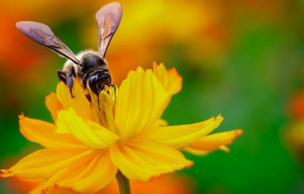 Картинка цветок, желтый, нектар, пчела, крылья, фокус, насекомое
