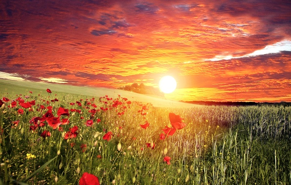 Картинка поле, небо, трава, солнце, облака, закат, цветы, маки, красные