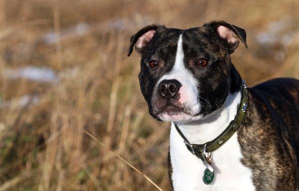 Картинка друг, собака, английский стаффордширский бультерьер, Staffordshire Bull Terrier