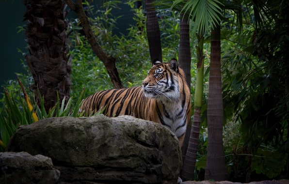 Картинка морда, тигр, заросли, хищник, дикая кошка, зоопарк