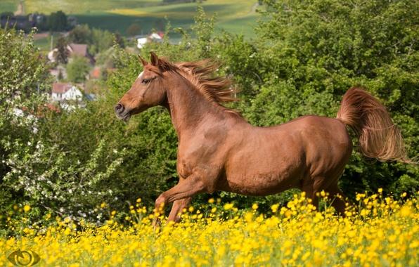 Картинка лето, конь, лошадь, луг, рыжий, бег, грива, (с) OliverSeitz