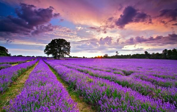 Картинка поле, лето, небо, солнце, облака, закат, Англия, вечер, Великобритания, лаванда, Июль