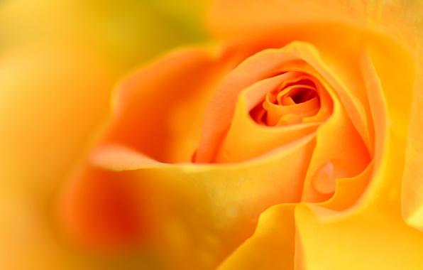 Фото обои цветок, роса, роза, капля, лепестки