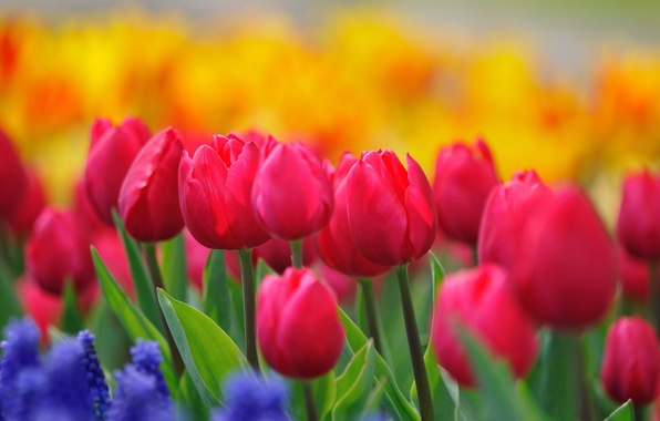 Картинка цветы, природа, стебли, краски, поляна, яркие, весна, желтые, тюльпаны, розовые, бутоны, цветение, синие, малиновые, гиацинты