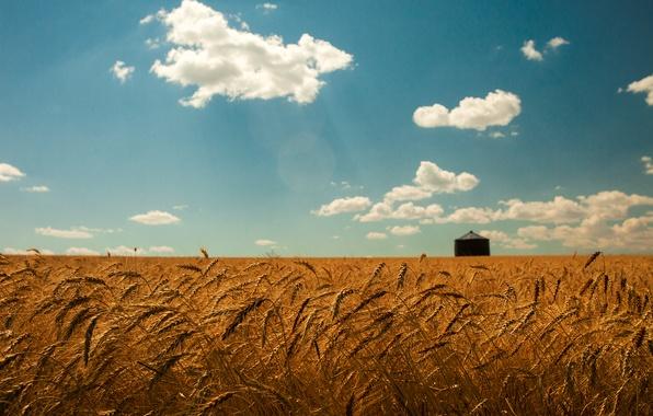 Картинка пшеница, поле, лето, небо, облака, золото, колоски
